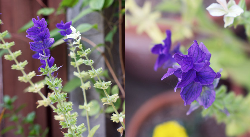 Purple flowering sage