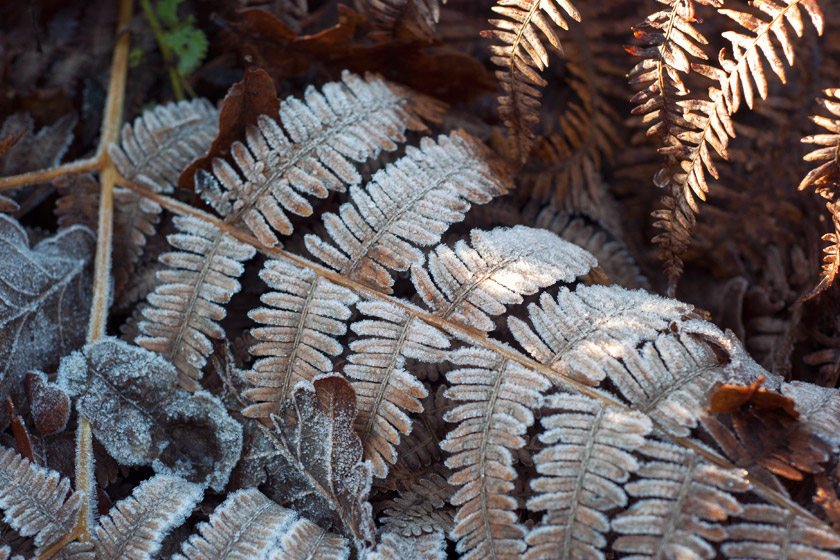 Brown fern covered in frost