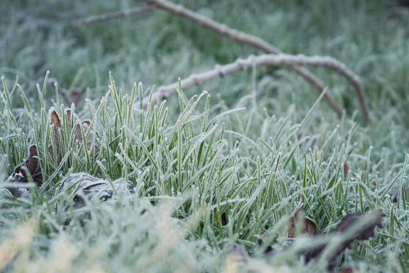Grass with thick frost