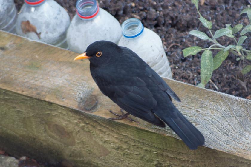 Blackbird in garden