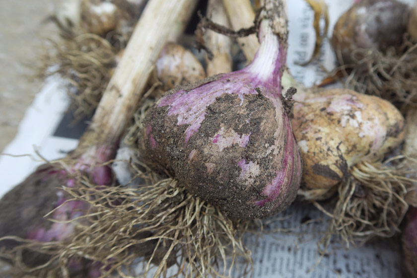 Close up garlic with pink skin
