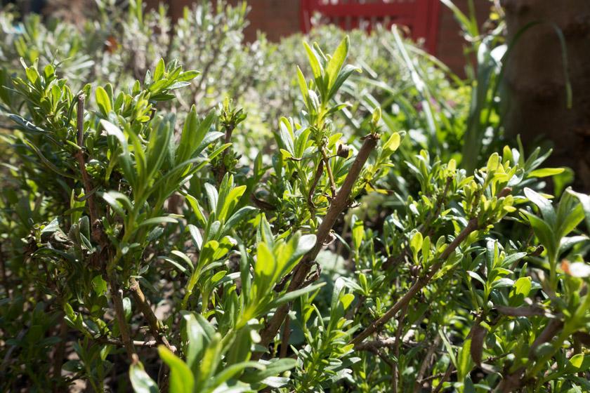 Hyssop leaves