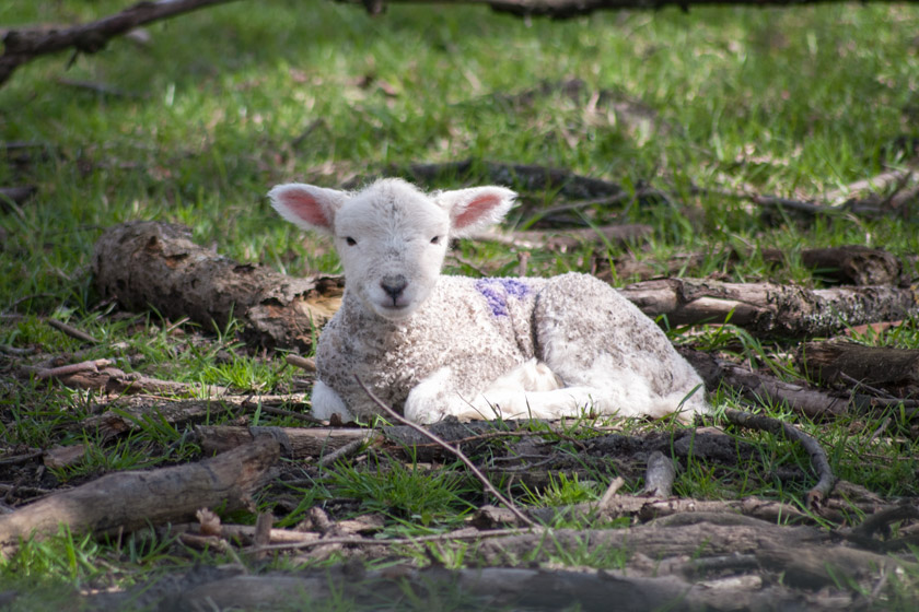 Lamb sitting on grass