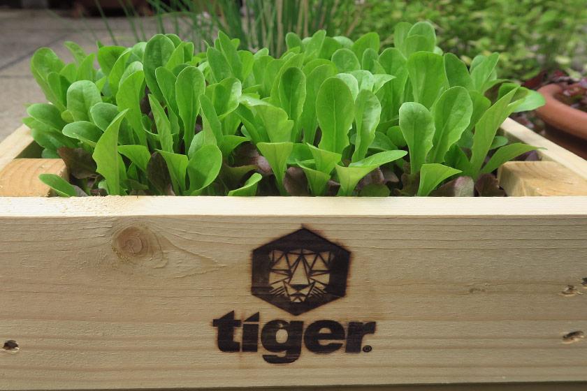 Lettuce growing in planter