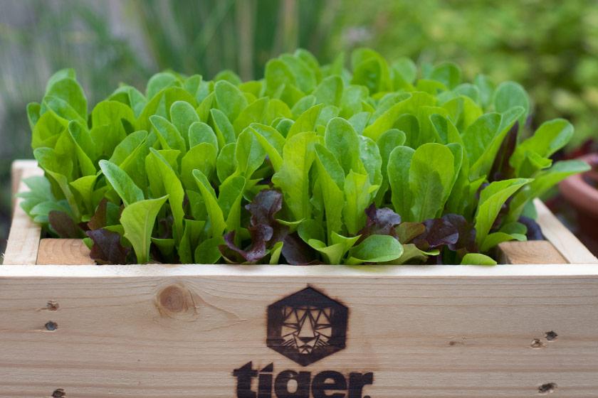 Lettuce leaves in planters