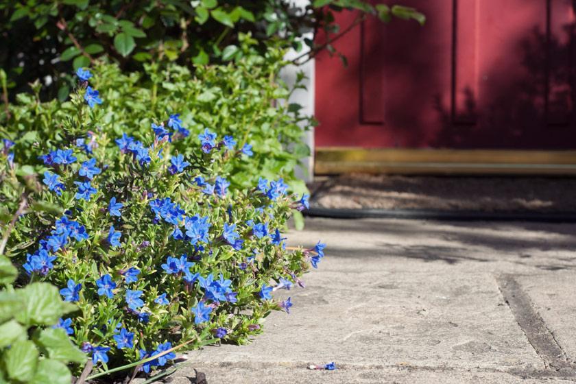 Blue flowers growing along path
