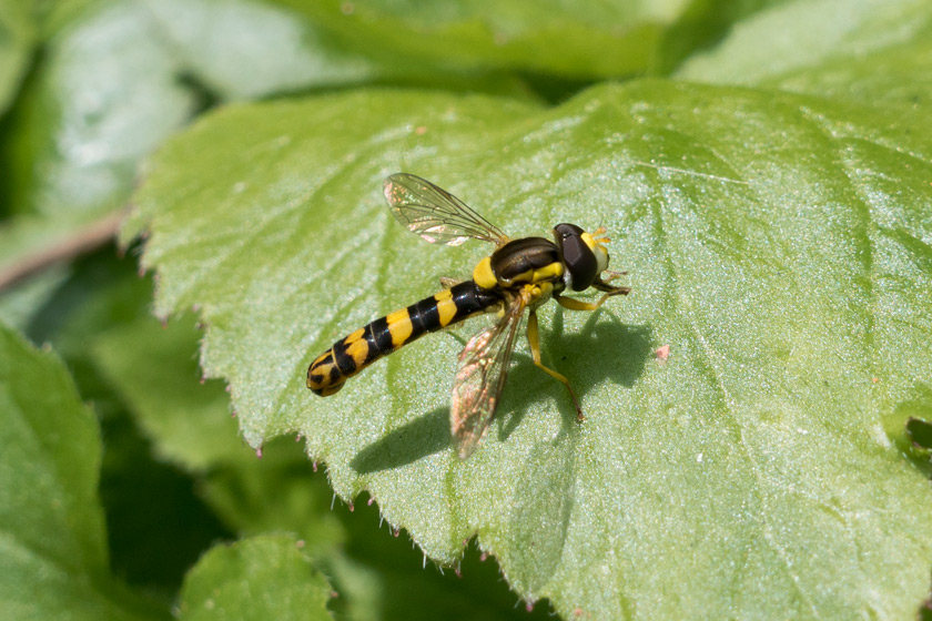 Long hoverfly on leaf