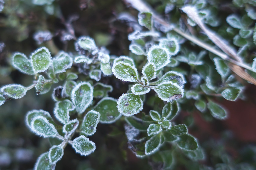 Frost covered marjoram