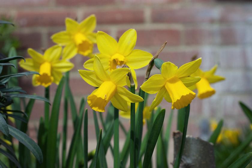 Small yellow daffodils