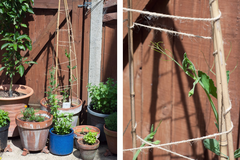 Sweet pea shoots climbing canes