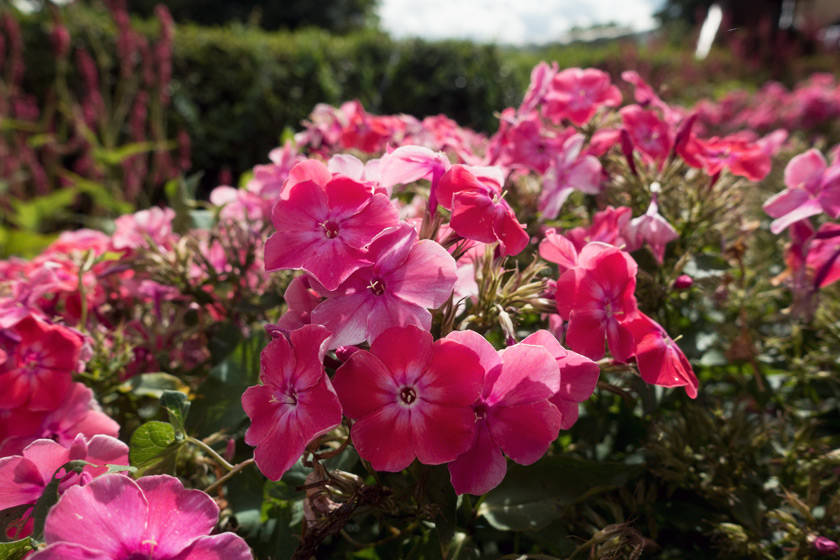 Pink flowers in the sun