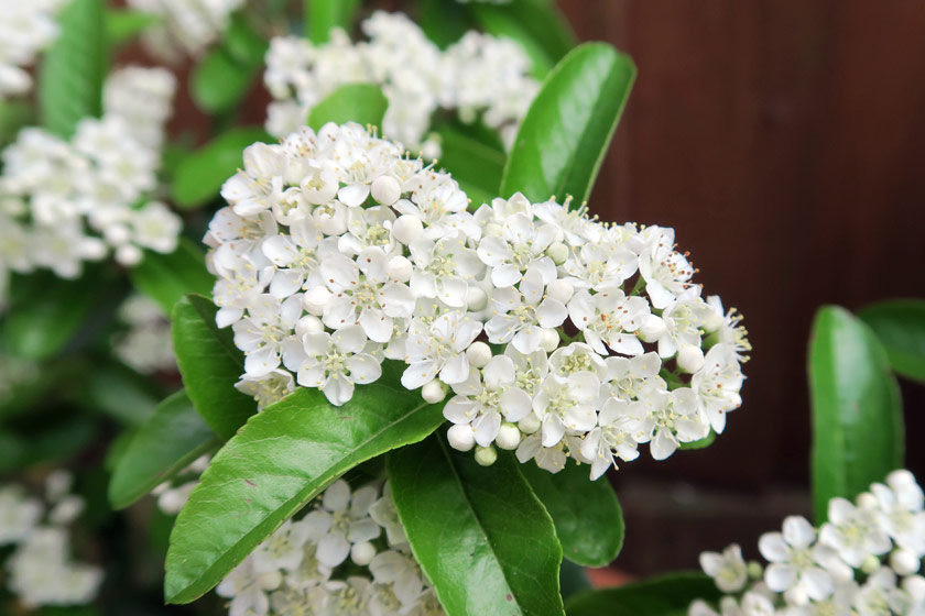 White pyracantha flowers