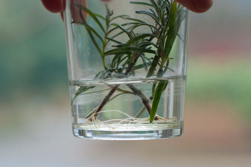 Rosemary roots growing in water