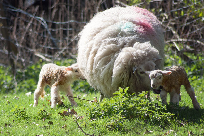 Two young lambs with mothers