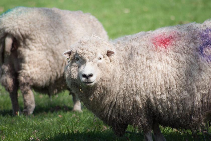 Female sheep facing camera