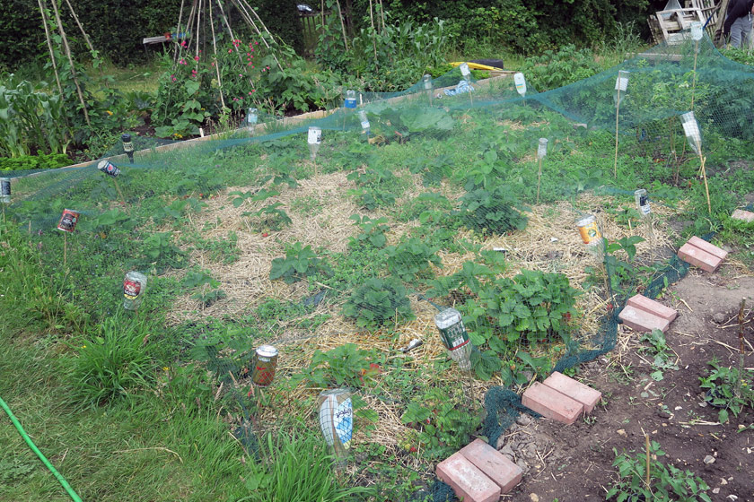 Netting over strawberry plants