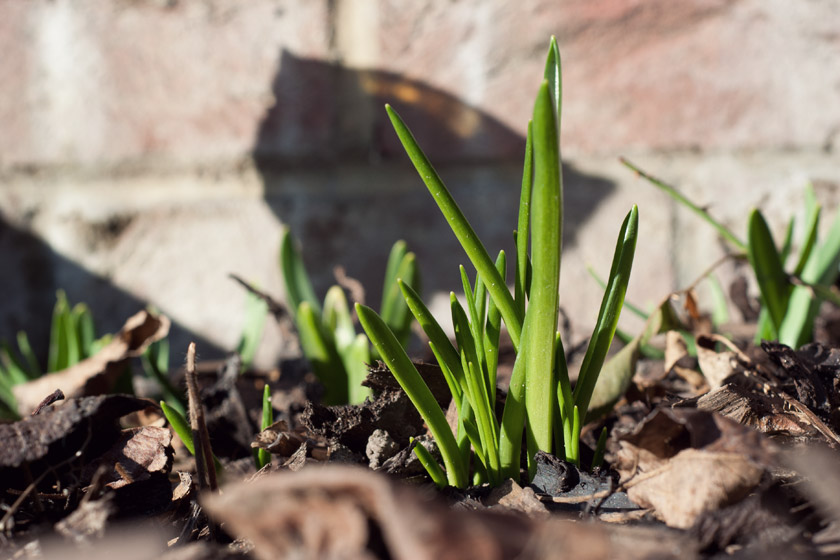 Daffodil shoots in the sun