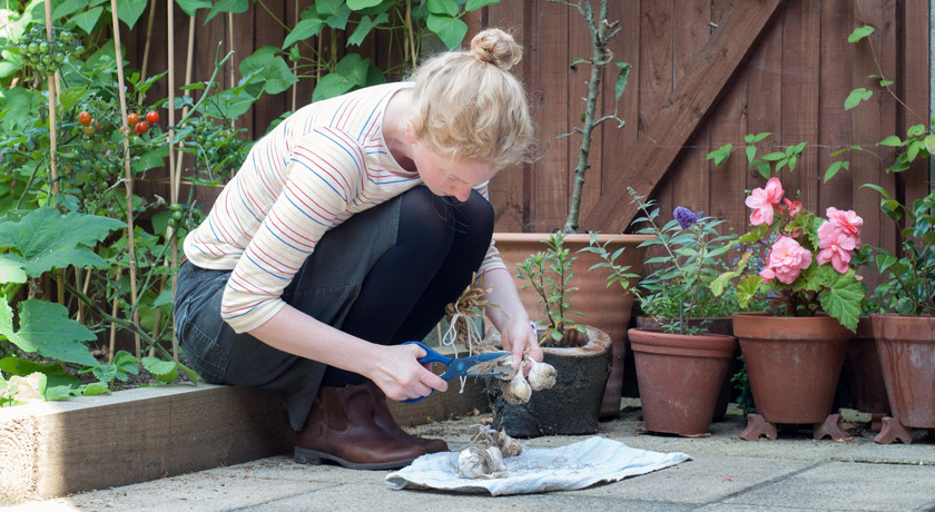 Trimming homegrown garlic in garden