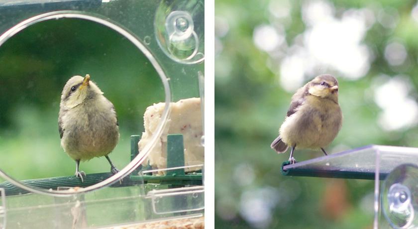 Fledgling on window feeder