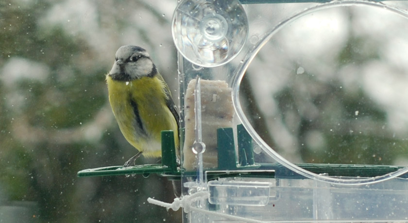 Blue tit with bright yellow breast looking into window