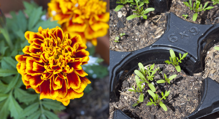 Marigold and seedlings