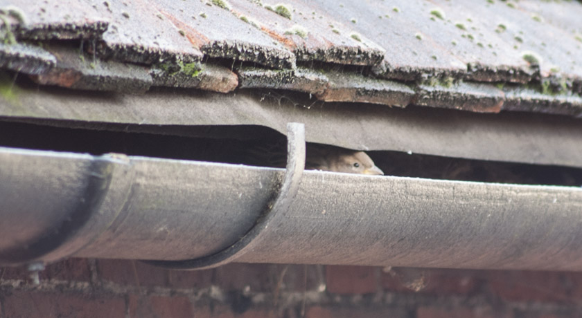 House sparrow peeping from the guttering