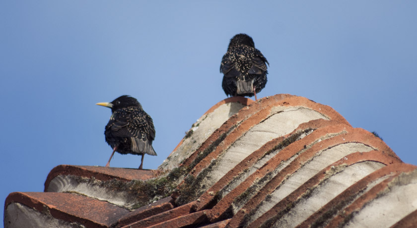 Starlings sitting on a roof in the sun