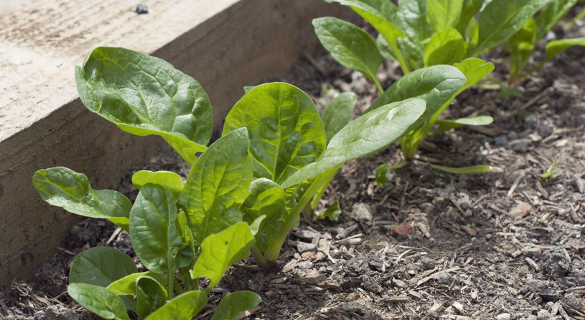 Young spinach plants
