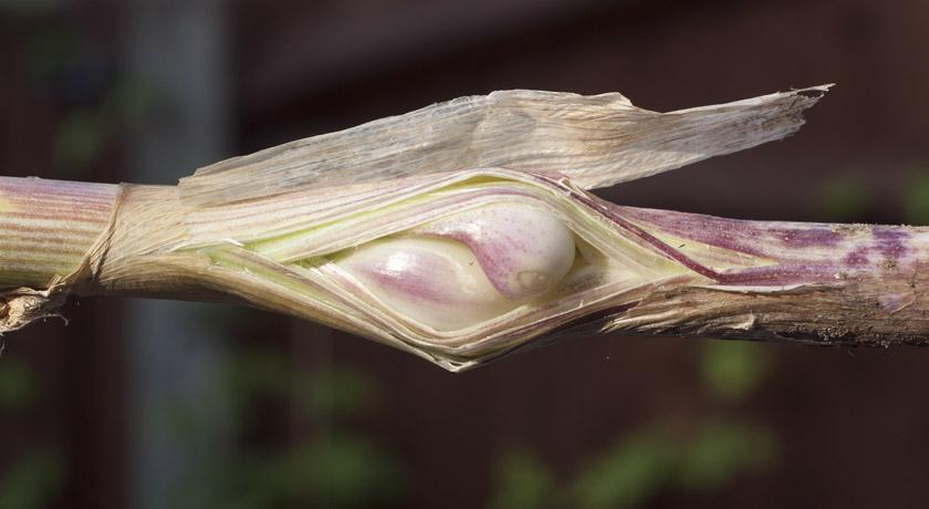 Bulbs growing on garlic stalk
