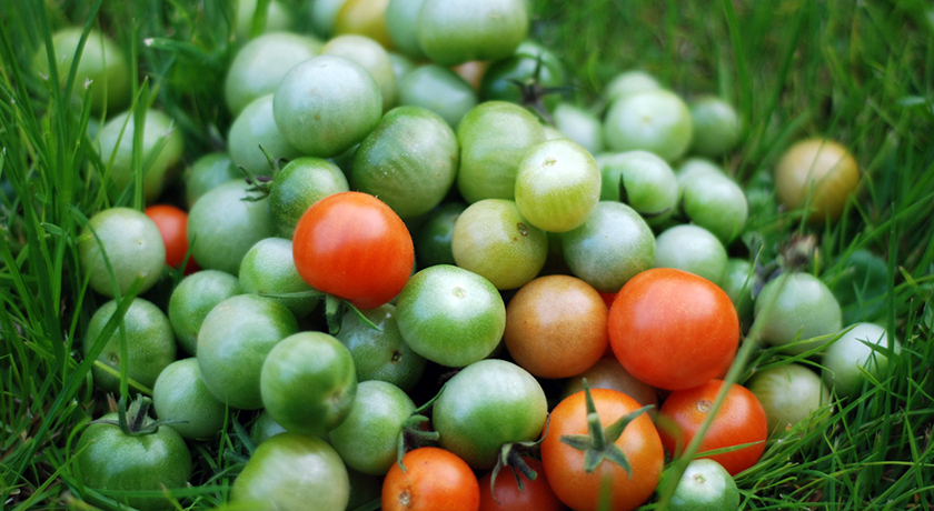 Green and red tomato harvest