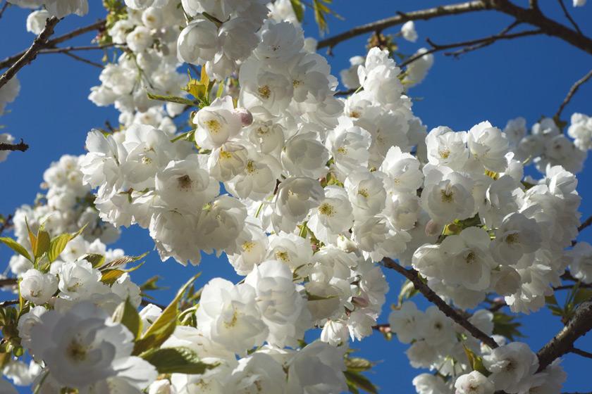 White blossom against blue sky