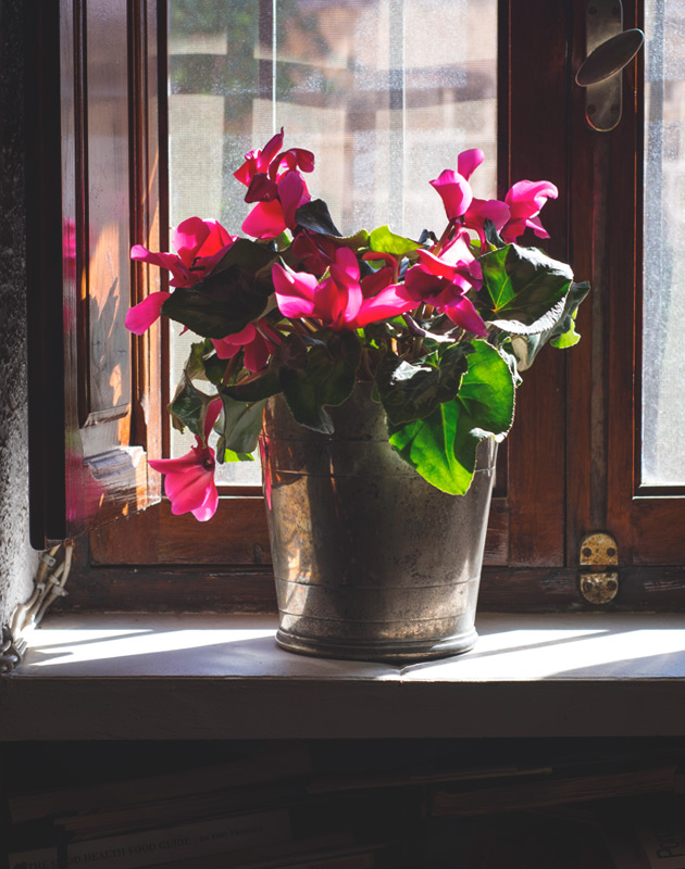 Pink cyclamen on sunny windowsill