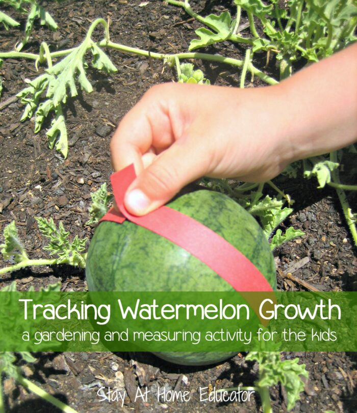 Tracking Watermelon Growth A Gardening And Measuring Activity For The Kids
