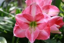 Pink Hippeastrum