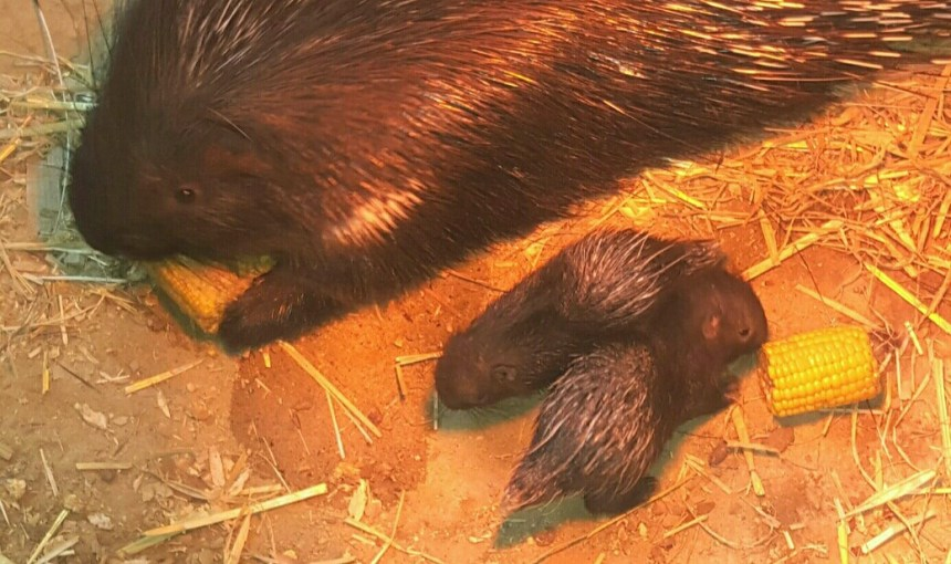 These little porcupettes are the latest arrivals at Devon's Woodlands Family Theme Park