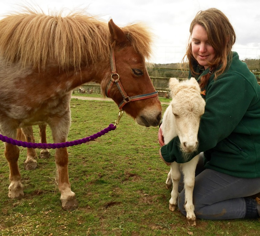 Welcoming arms for the petite palomino foal born at Woodlands Family Theme Park