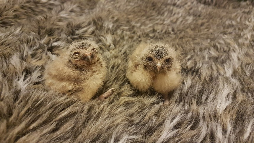 Soft landing: the newly hatched burrowing owls will be forming a close bond with the park's professional falconers