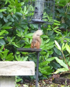 A Skelwith Fold red squirrel tucks in to its special winter feed