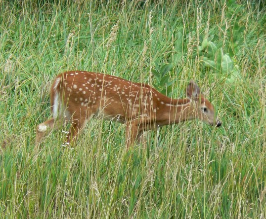 White-tailed Deer Fawn. Richard St. Barbe Baker Afforestation Area. Saskatoon, SK, CA