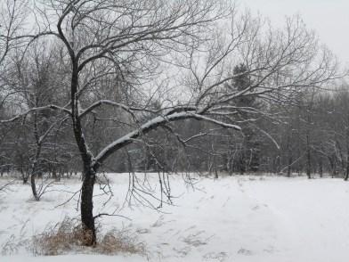Winter in Richard St. Barbe Baker Afforestaton Area, Saskatoon, SK, CA