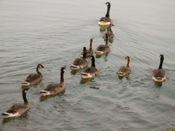 Canada Geese West Swale Wetlands. Chappell Marsh. Richard St. Barbe Baker Afforestation Area, Saskatoon, SK, CA
