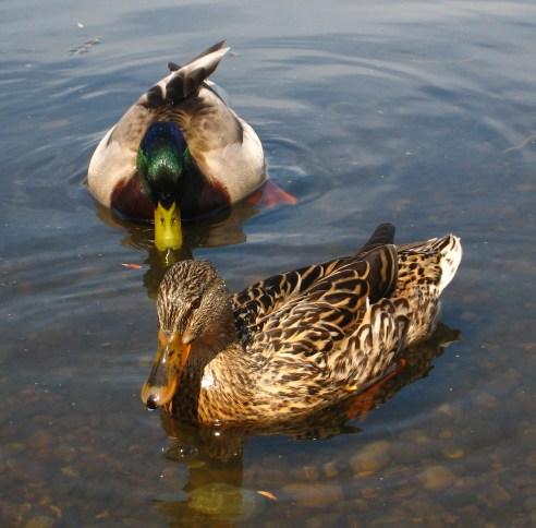 Mallard Ducks. West Swale Wetlands (Chappel Marsh) Richard St. Barbe Baker Afforestation Area, Saskatoon, SK, CA