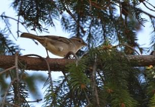 Chipping Soarrow. Spizella passerina. Richard St. Barbe Baker Afforestation Area, Saskatoon, SK, CA