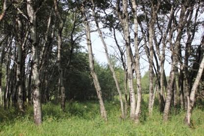 Trembling Aspen grove Richard St. Barbe Baker Afforestation Area Saskatoon, Saskatchewan, CA