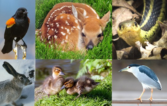 Wildlife Montage. Red Winged Blackbird, White Tailed Deer Fawn, Garter Snake, JackRabbit, Mallard Ducklings, Black Crowned Night Heron