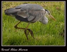 "Great Blue Heron Ardea herodias 42-52"" (105-130 cm) four feet standing."