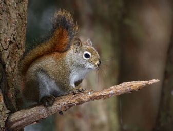 American Red Squirrel (Tamiasciurus hudsonicus),