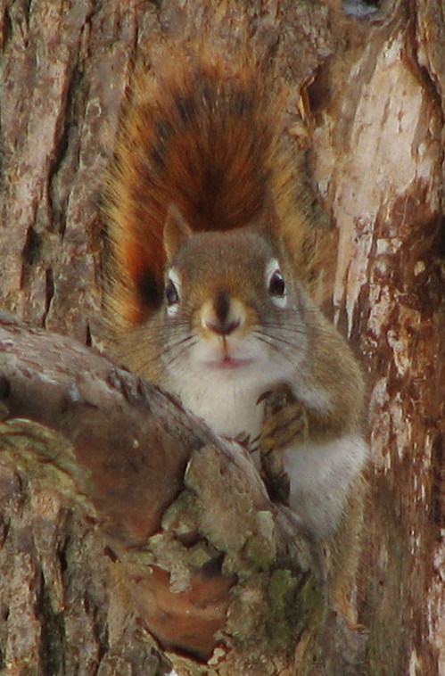 American red squirrel (Tamiasciurus hudsonicus)