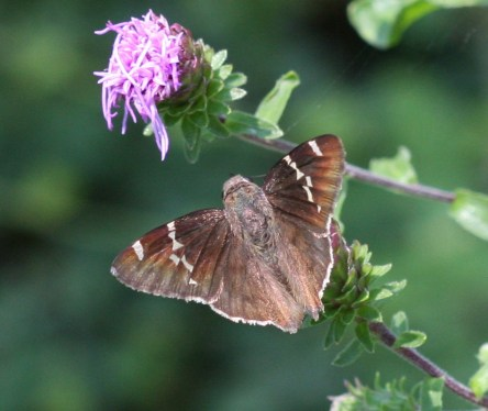 Southern Cloudywing Thorybes bathyllus courtesy of John Flannery CC 2.0