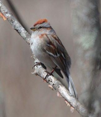 Tree Sparrow Spizelloides arborea